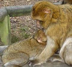 Les caresses entre singes